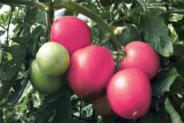 Томат кубышка: характеристика и описание сорта, урожайность с фото