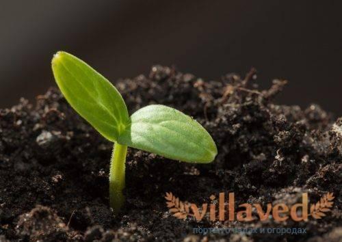 Зачем обрабатывать семена огурцов перед посадкой и как это лучше сделать?