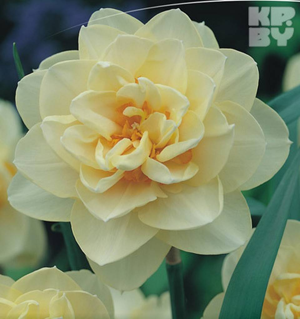 Нарцисс дельнашо