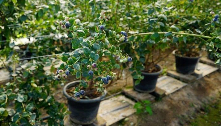 Как и когда сажать садовую голубику весной в открытый грунт