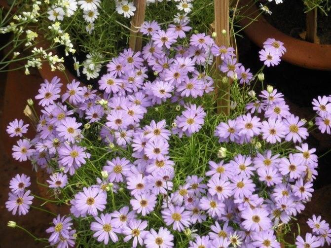 Когда сажать брахикому при выращивании из семян: гид по цветным ромашкам
