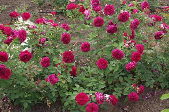 Розы флорибунда: сорта и названия, описание и уход