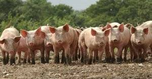 Пурина разновидности корма для свиней, его преимущества, правила использования