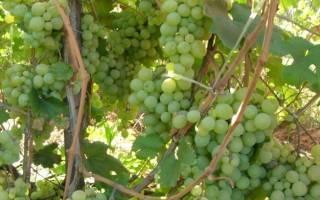 Виноград по имени атос – как ухаживать за украинским мушкетером