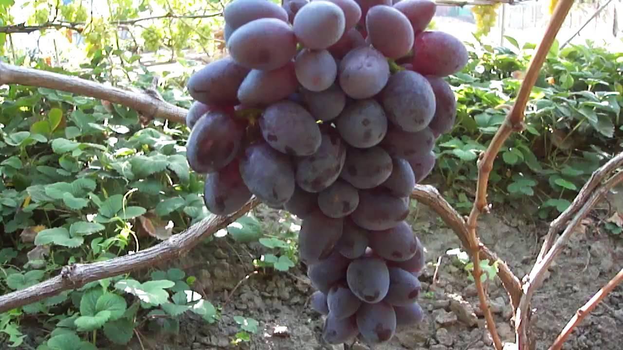 Новый привлекательный сорт — виноград «красотка»