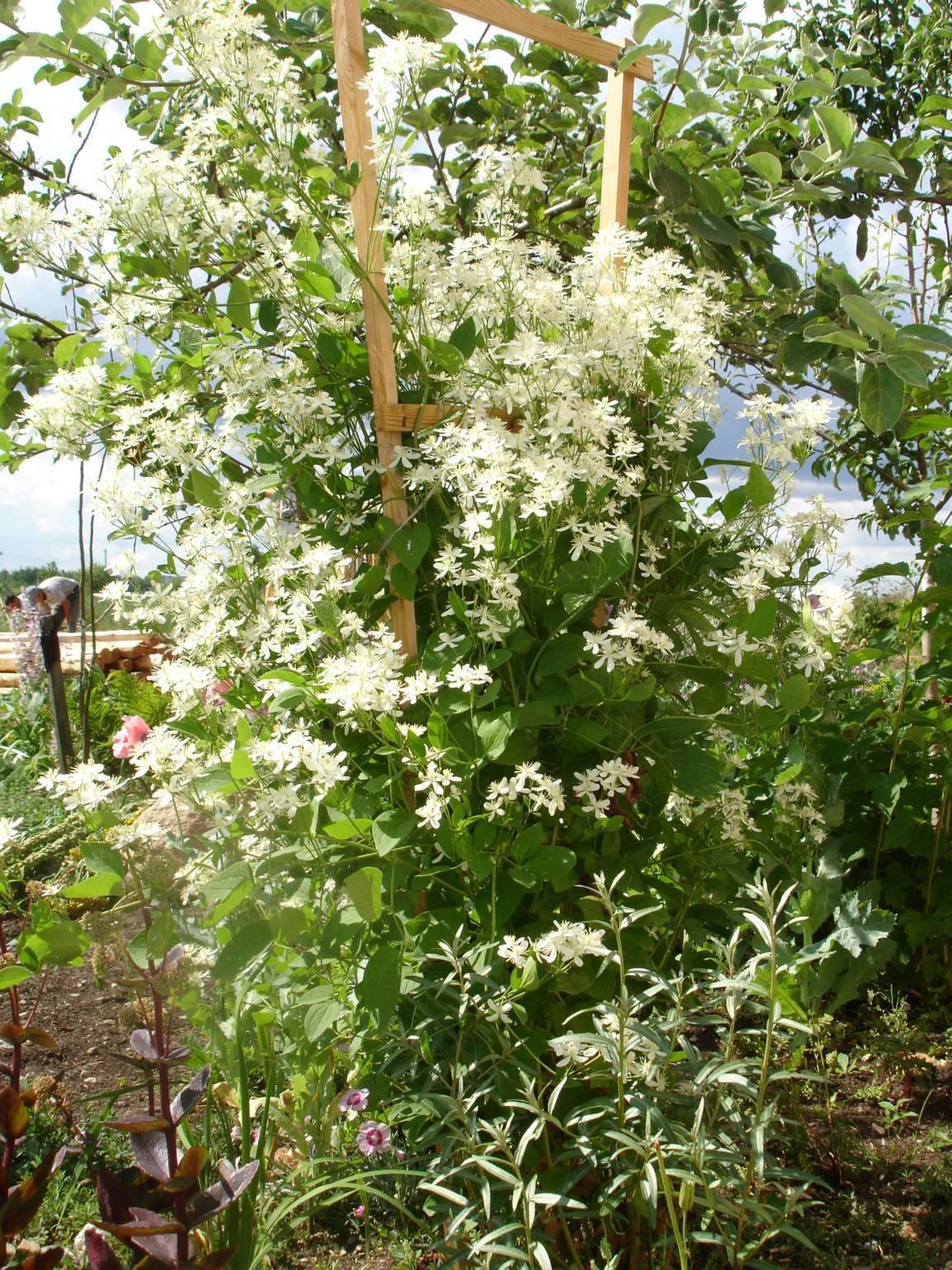 Особенности выращивания клематисов в сибири: посадка и уход, фото сортов