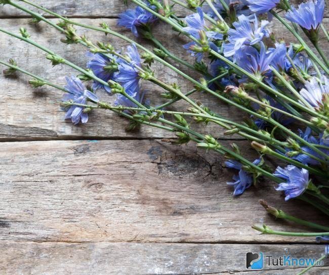 Когда заготавливать цикорий в домашних условиях. сбор и заготовка травы цикория