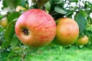 Сорт яблони белый налив: характеристика и особенности выращивания