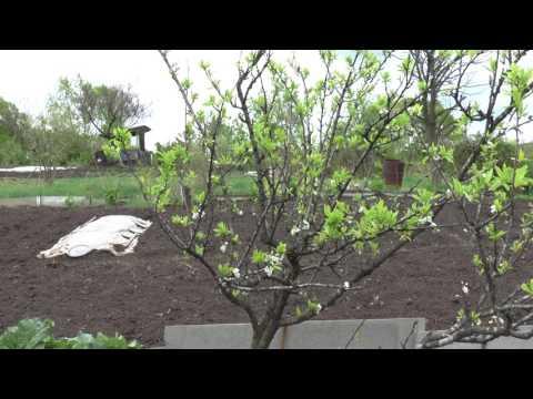 Выращивание алычи из косточки
