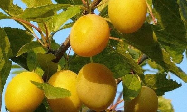 Описание и характеристики сливы сорта Утро, выращивание и уход