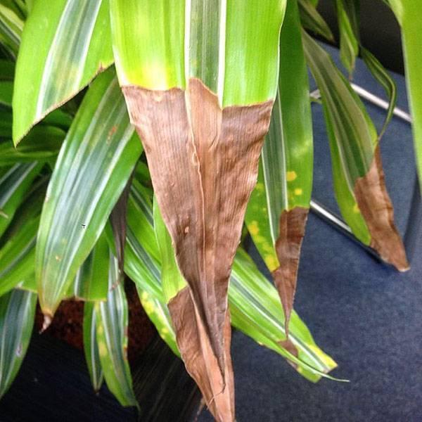Юкка светлеют листья. у юкки опустились листья. болезни юкки и их лечение