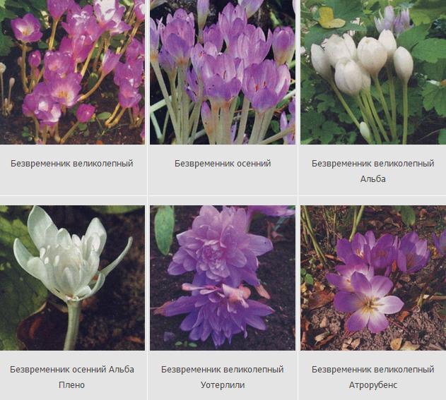 Выращиваем безвременник осенний: сорта, фото, посадка и уход в саду