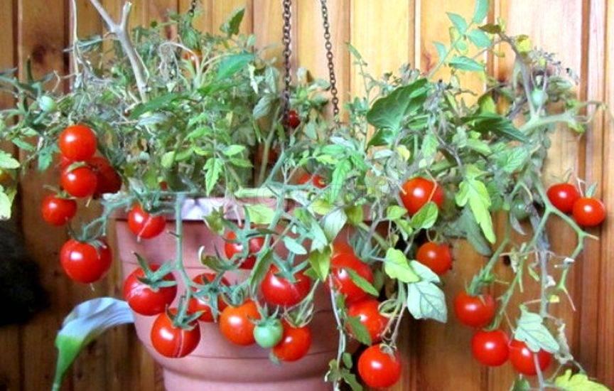 Описание сорта томата Пигмей и особенности выращивания