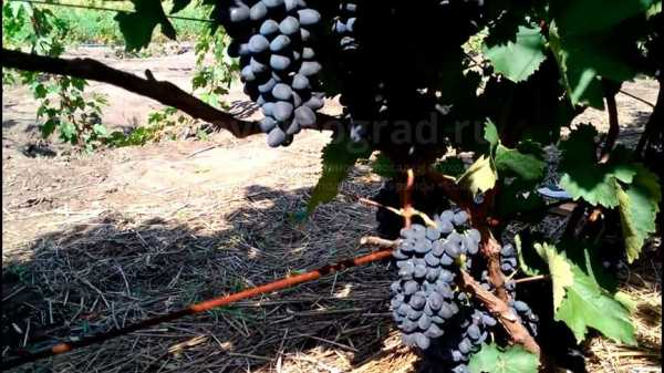 Виноград чарли: описание сорта, характеристики