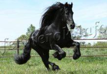 Средний срок жизни диких и домашних лошадей