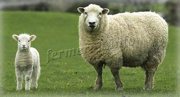 Дорпер — порода овец