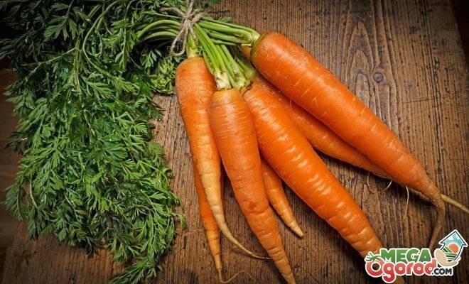 Шесть способов борьбы с морковной мухой для спасения урожая