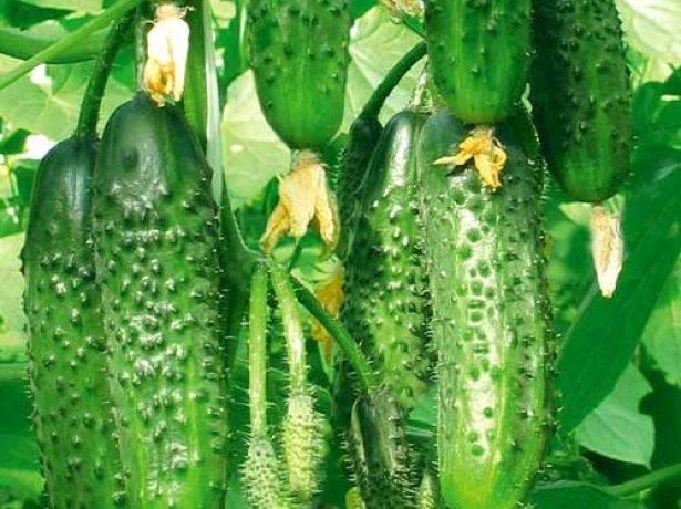 Огурец пальчик — преимущества и правила выращивания сорта