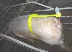 Способы и техника осеменения свиней