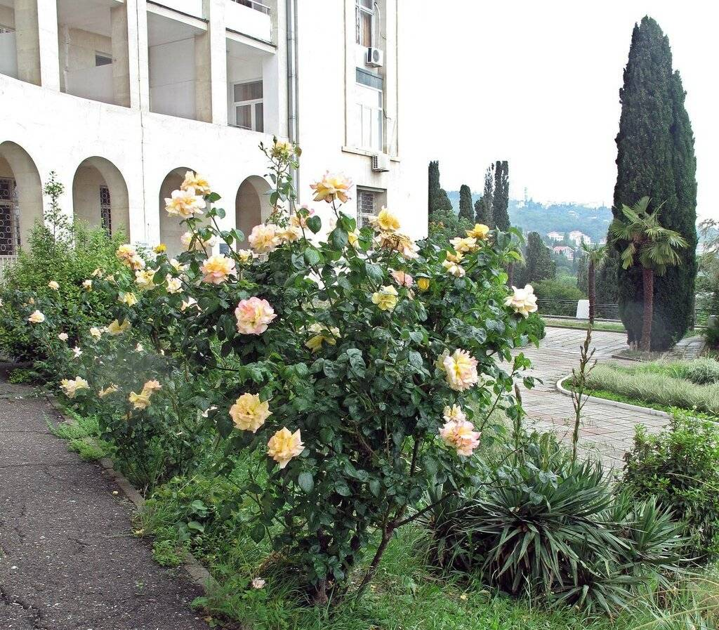 Описание розы сорта глория дей, посадка, выращивание и уход