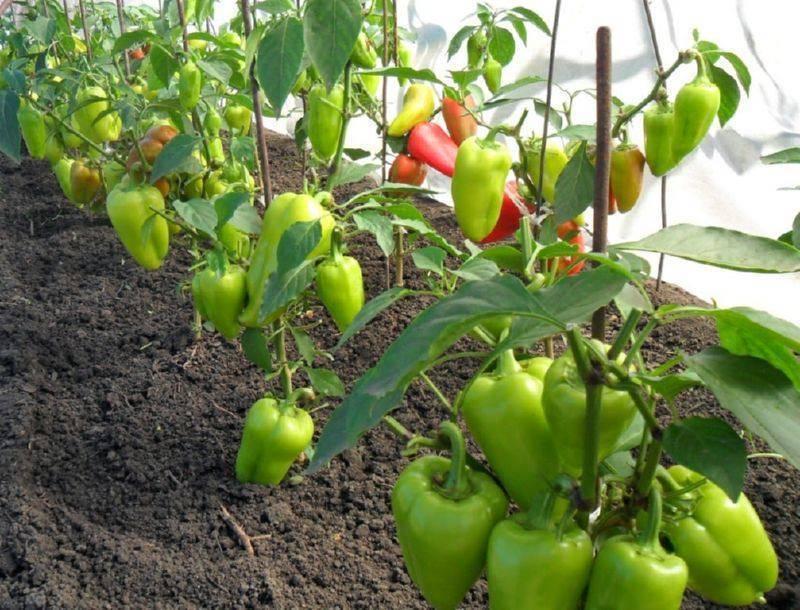 Легко ли вырастить сладкий перец без теплицы