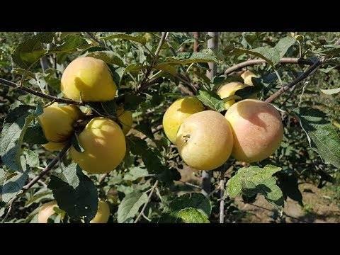 Описание и характеристики сорта яблони вильямс прайд, как часто плодоносит и регионы выращивания