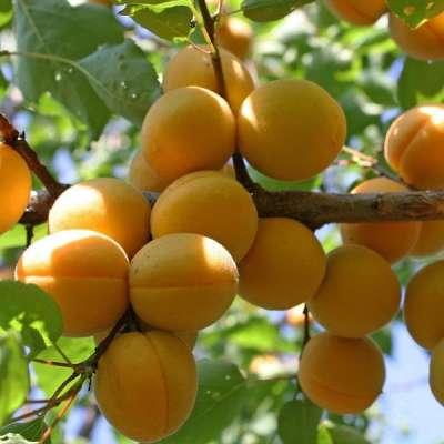 Как сажать абрикос в подмосковье