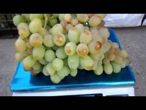 «ланселот» — гибридный сорт винограда