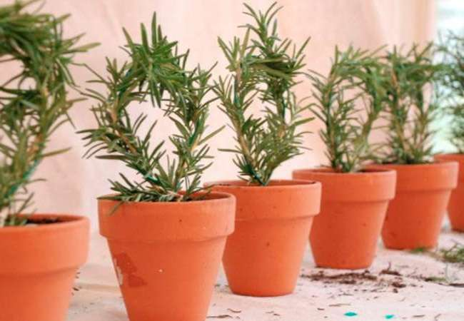 Розмарин: выращивание из семян в домашних условиях и в открытом грунте