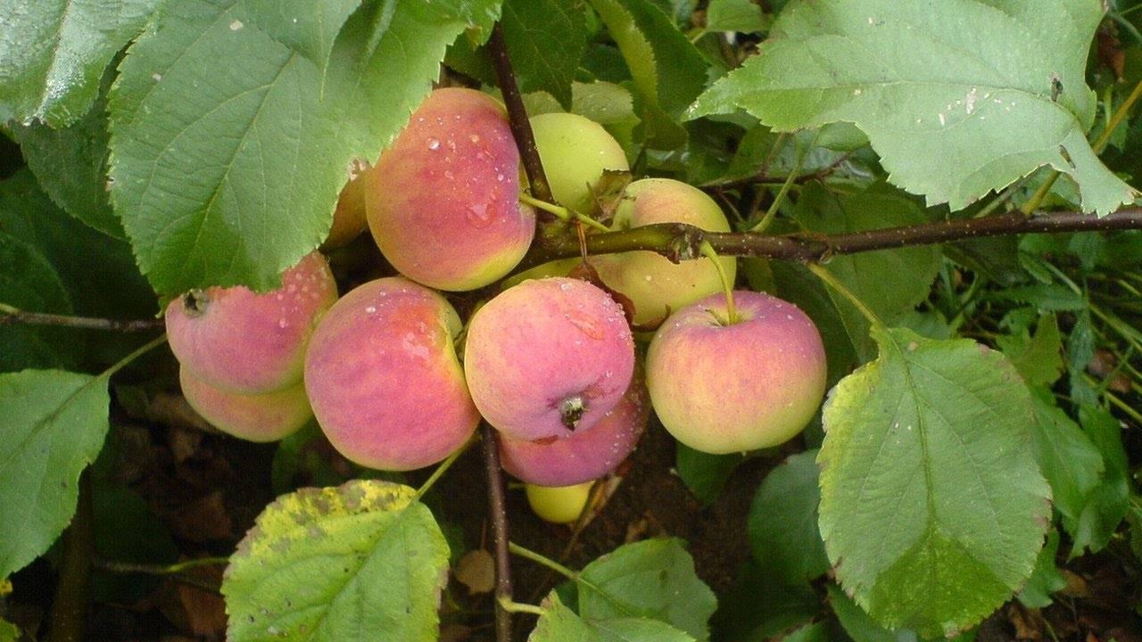 Описание сорта яблони юный натуралист и регионы выращивания, история селекции