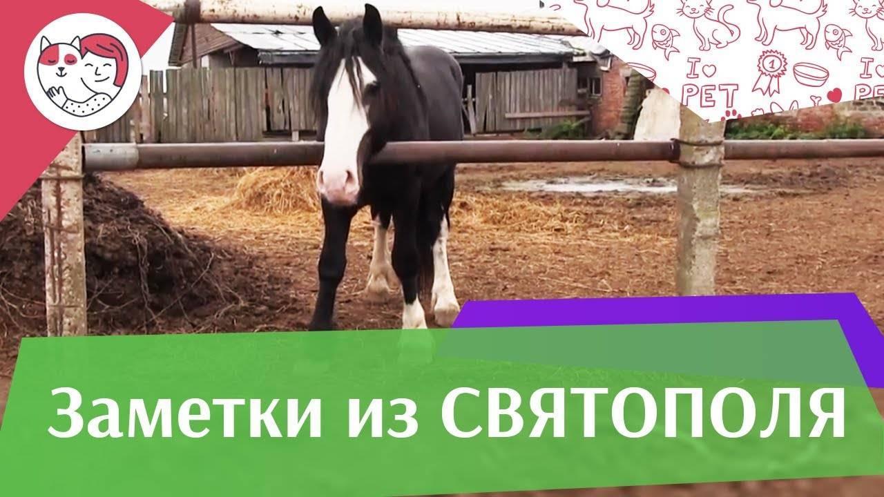 Характеристика и условия содержания породы лошадей шайр