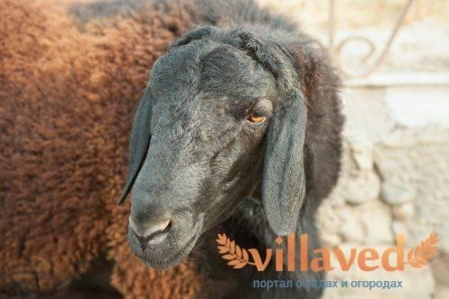 Описание и характеристики гиссарской породы овец