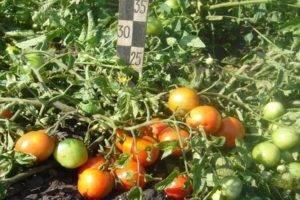Томат карл — описание сорта, урожайность, фото и отзывы садоводов