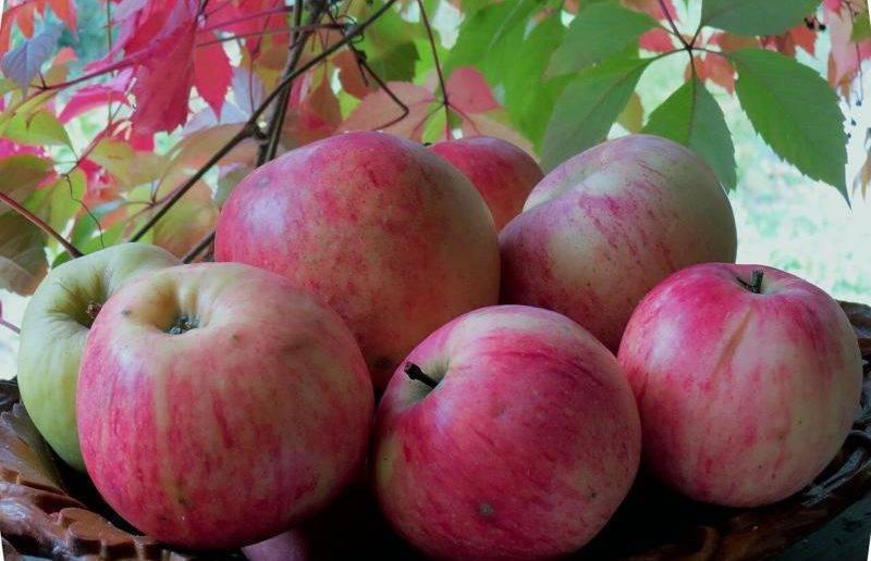 Яблоня масловское: описание и характеристика сорта + фото