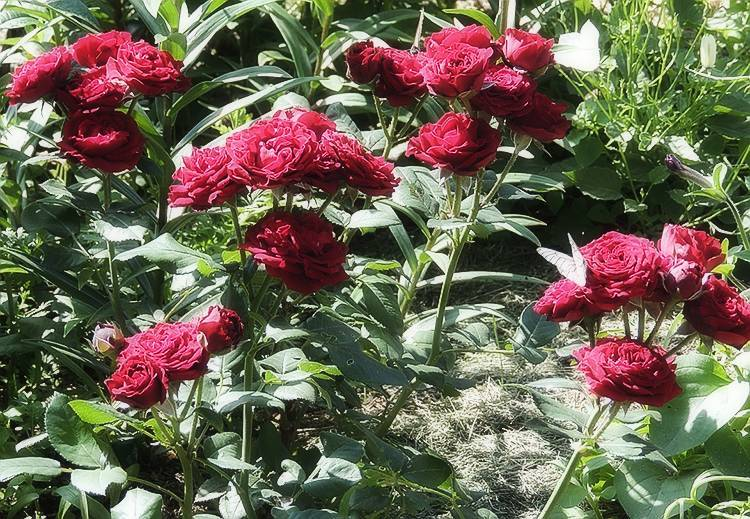 Чайно гибридные розы, уход и посадка в открытом грунте