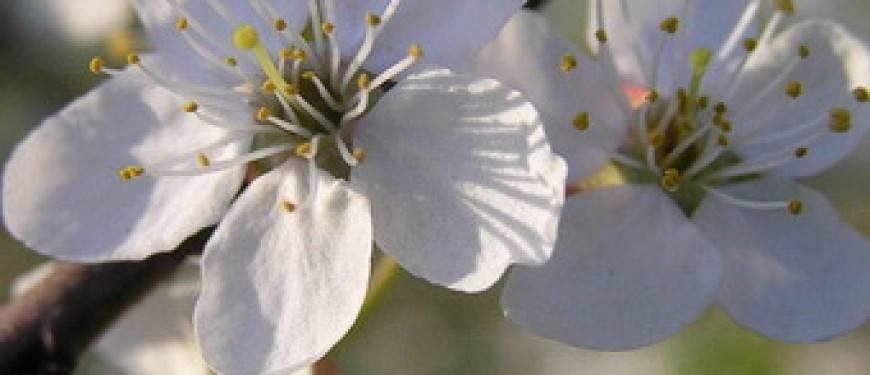 Посадка грецкого ореха весной