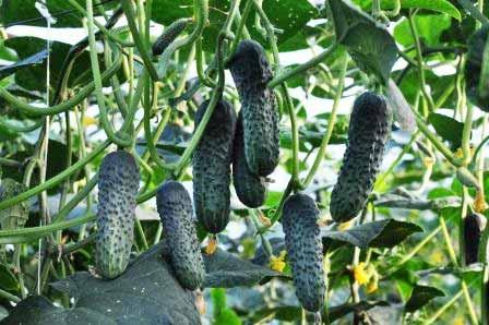 Огурец лютояр — 8 особенностей и 13 советов по выращиванию и уходу