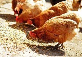 Сколько и какого корма должен съесть один бройлер от вывода до убоя?