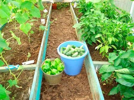 Теплолюбивые соседи: можно ли выращивать перец и баклажан на одной грядке?