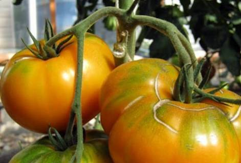 Сорт помидор с превосходным вкусом — томат «медовый»