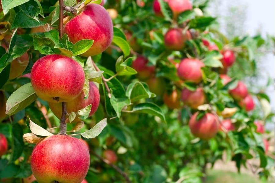Различные сорта карликовых яблонь