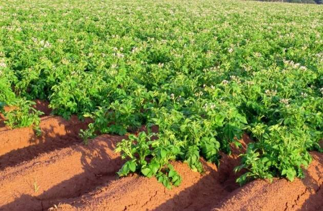 Что сажать после картофеля на следующий год: советы