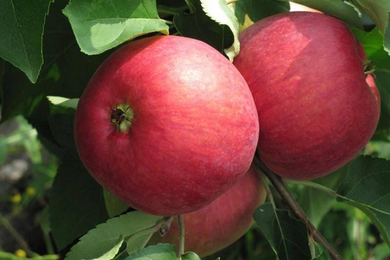 Сорт яблони веньяминовское — любимица садоводов