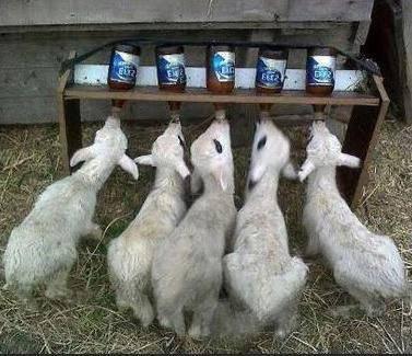Выкармливание козлят без козы