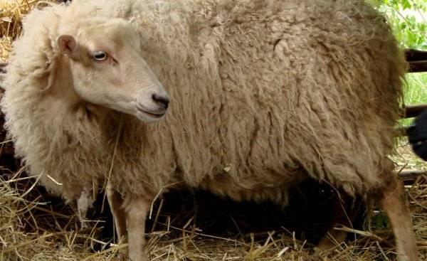 Описание 6 самых маленьких пород карликовых овец и их содержание