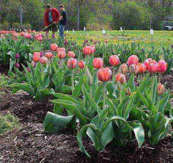 Секреты осенней посадки луковиц тюльпанов