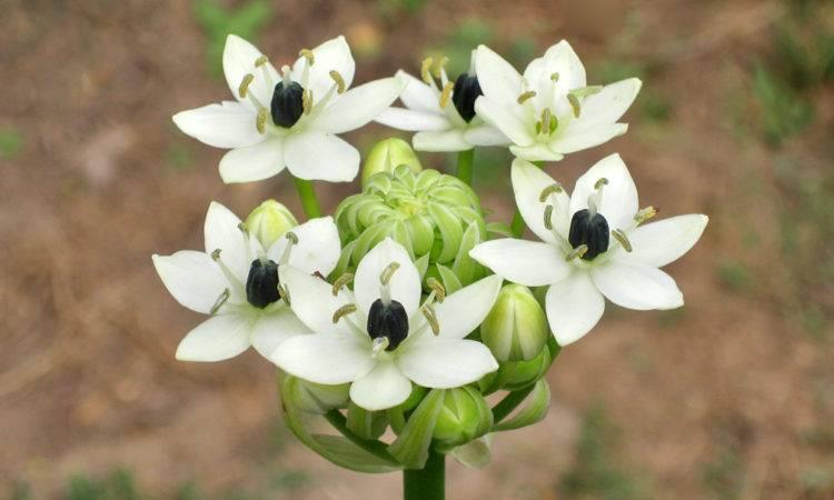 Цветок птицемлечник посадка и уход в открытом грунте и в домашних условиях фото и описание