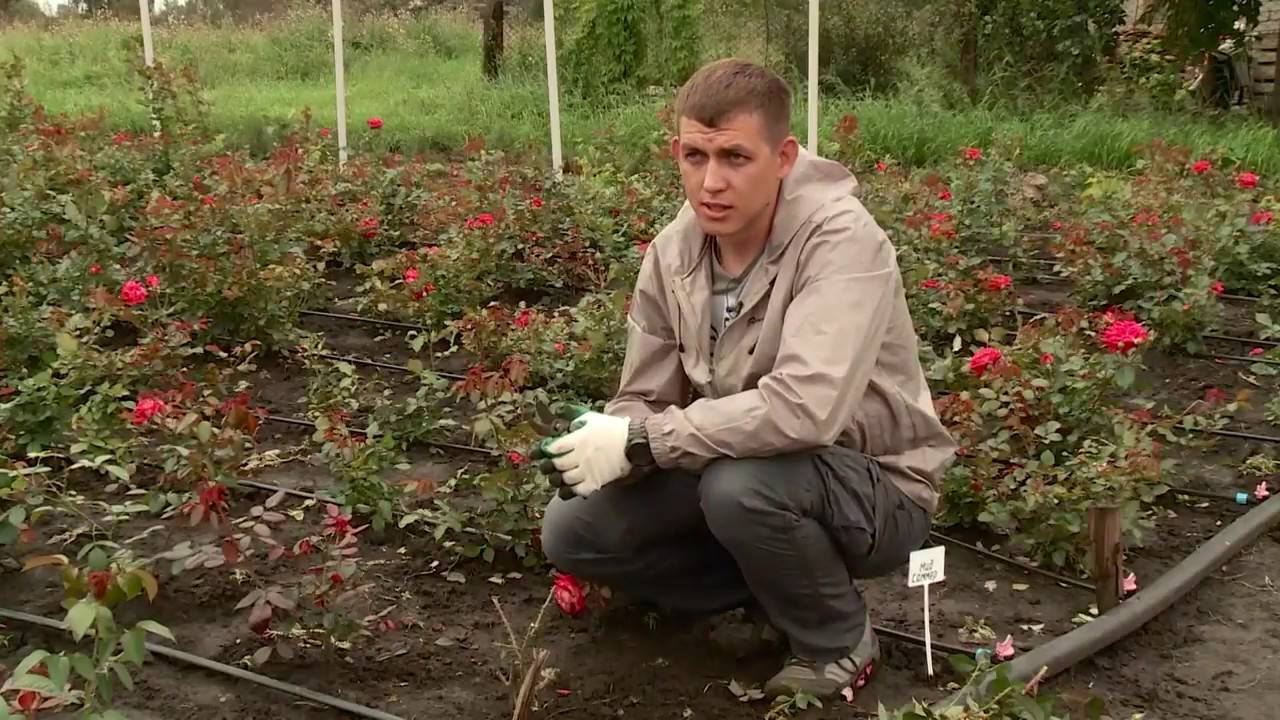 Как правильно хранить розы в погребе зимой