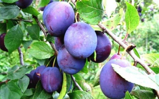 Описание сорта сливы евразия, выращивание и уход, опылители