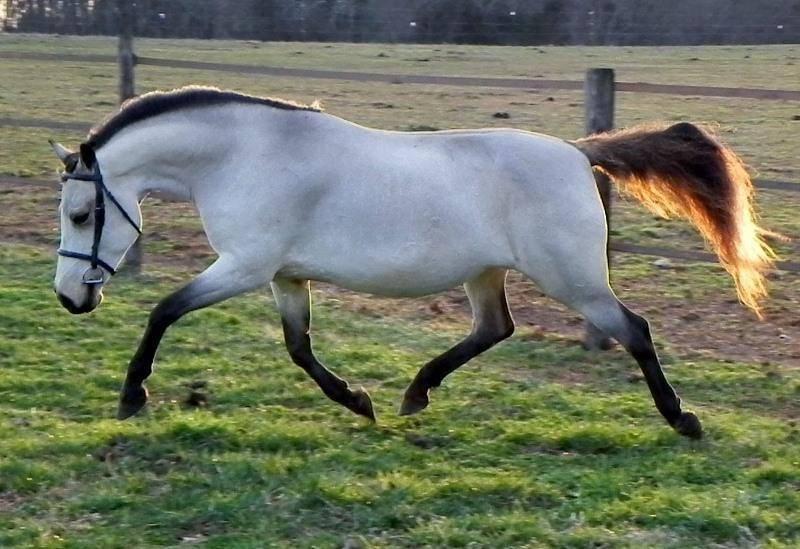 Каурая – «дикая» масть лошадей